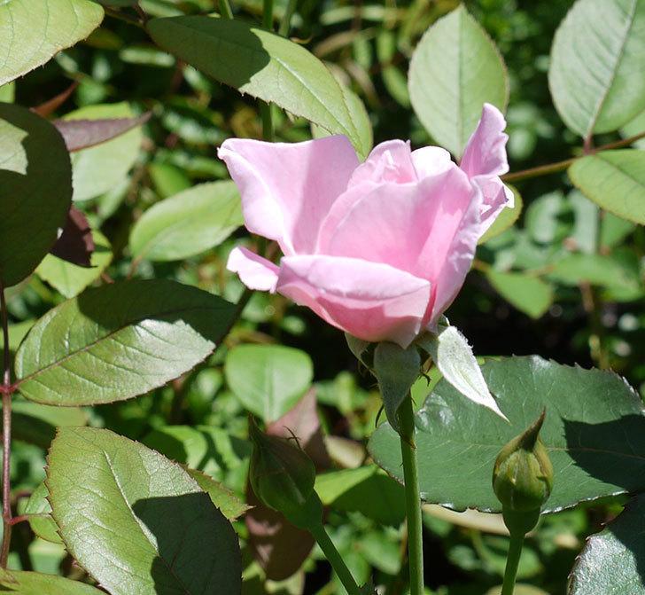 モーティマー・サックラー(ツルバラ)の2番花が咲いた。2017年-3.jpg