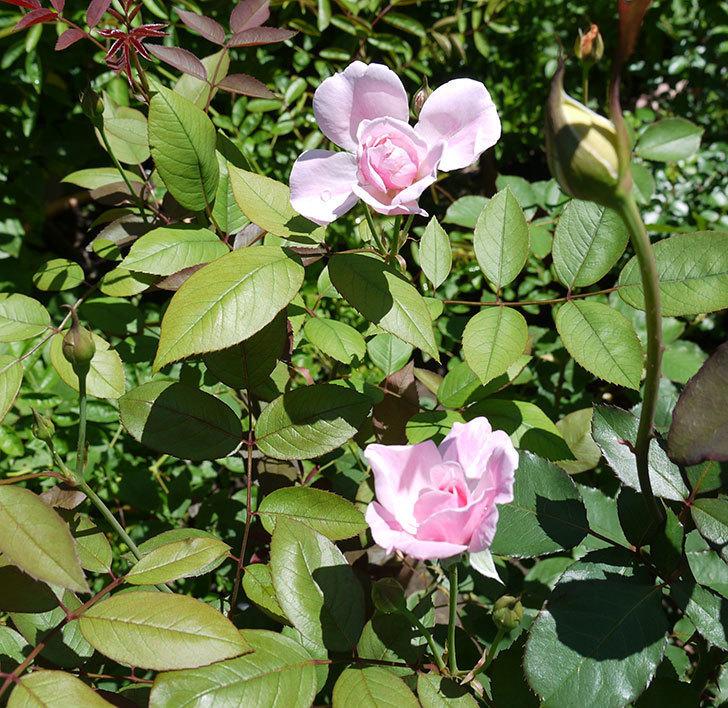 モーティマー・サックラー(ツルバラ)の2番花が咲いた。2017年-4.jpg