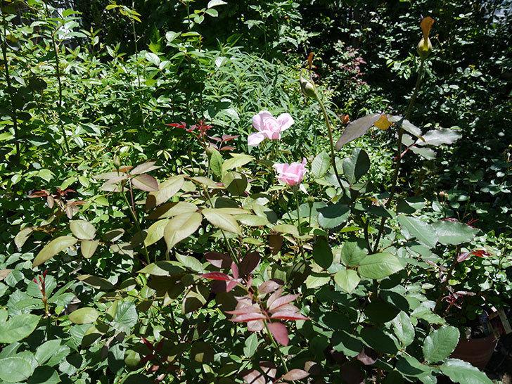 モーティマー・サックラー(ツルバラ)の2番花が咲いた。2017年-5.jpg