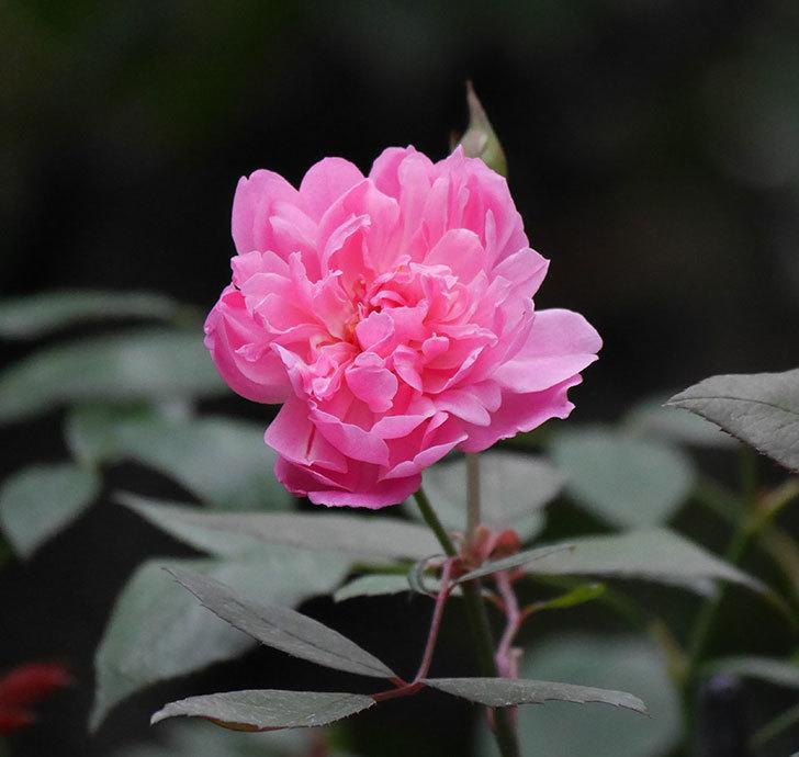 モーティマー・サックラー(ツルバラ)の2番花が咲いた。2019年-1.jpg
