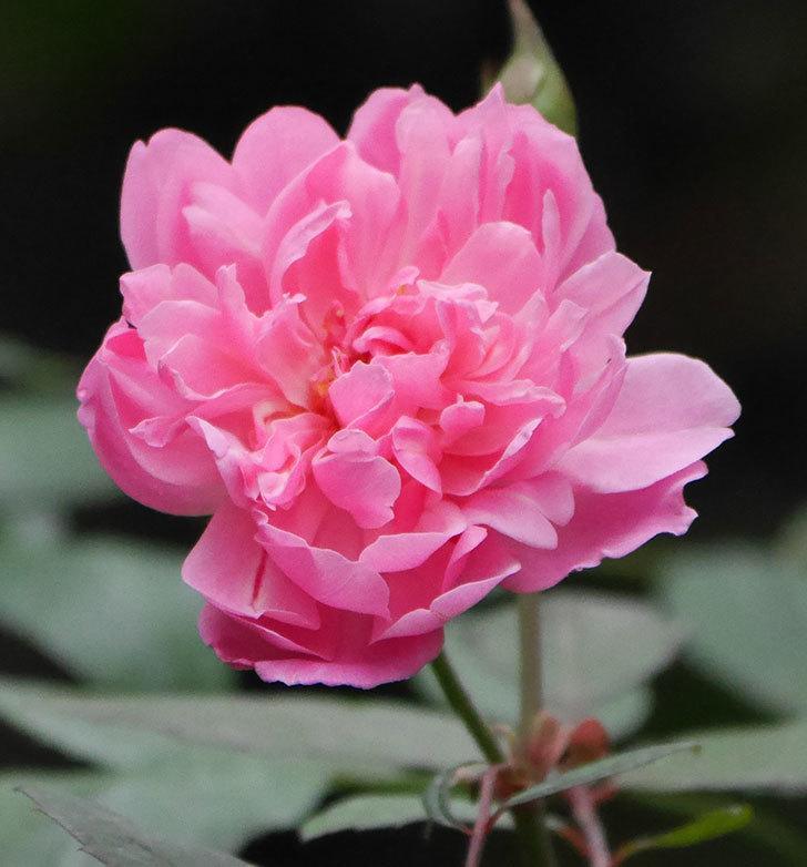 モーティマー・サックラー(ツルバラ)の2番花が咲いた。2019年-3.jpg