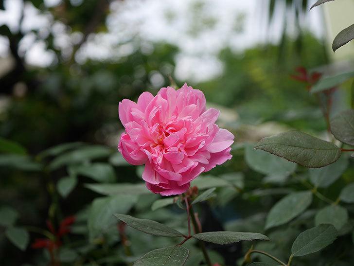 モーティマー・サックラー(ツルバラ)の2番花が咲いた。2019年-6.jpg