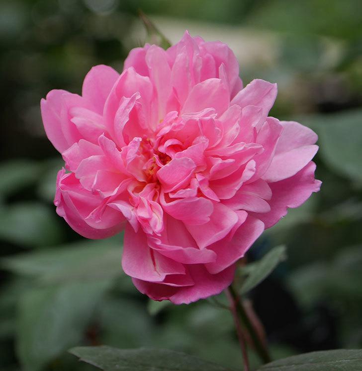 モーティマー・サックラー(ツルバラ)の2番花が咲いた。2019年-7.jpg