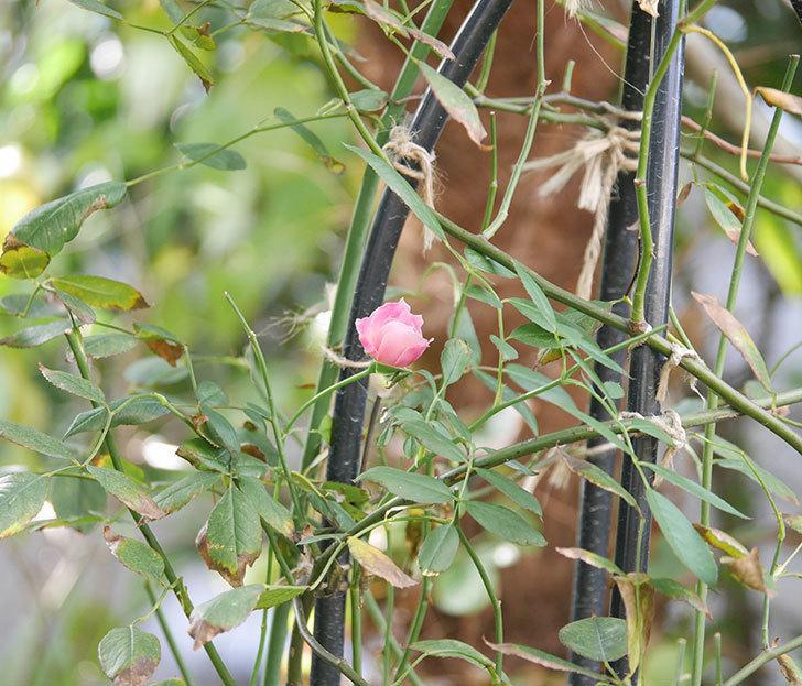 モーティマー・サックラー(ツルバラ)の秋花が咲いた。2018年-2.jpg