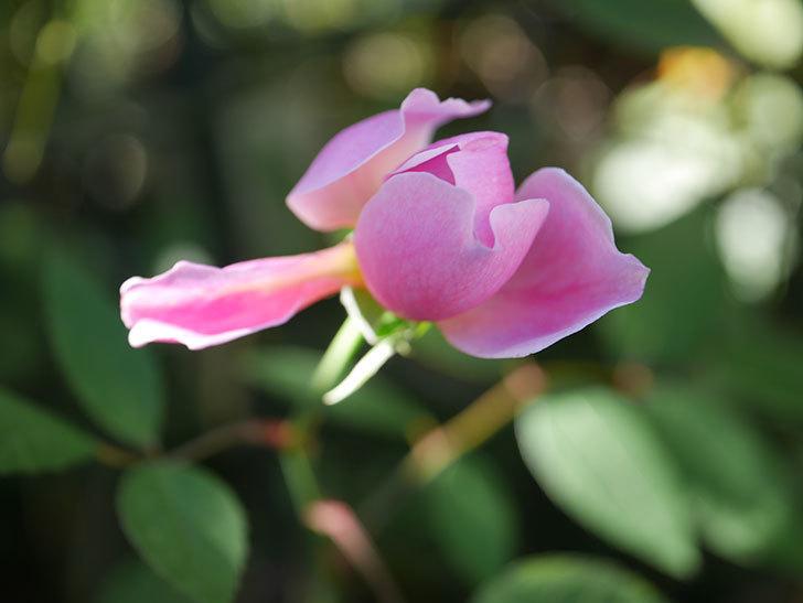 モーティマー・サックラー(ツルバラ)の秋花が咲いた。2020年-003.jpg