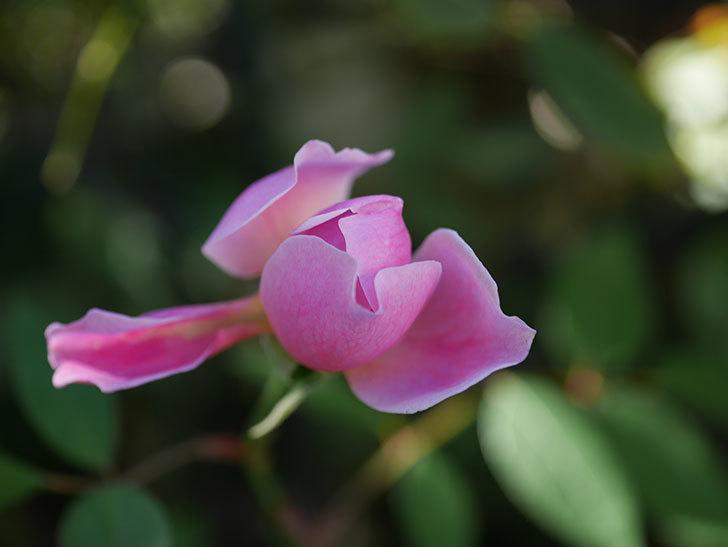 モーティマー・サックラー(ツルバラ)の秋花が咲いた。2020年-005.jpg