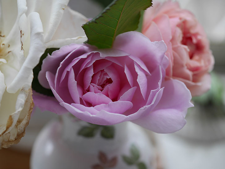 モーティマー・サックラー(ツルバラ)の秋花が咲いた。2020年-007.jpg