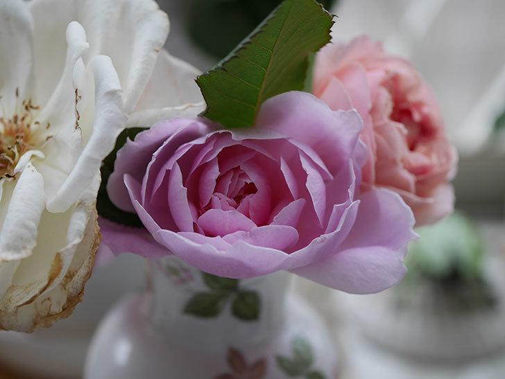 モーティマー・サックラー(ツルバラ)の秋花が咲いた。2020年-009.jpg