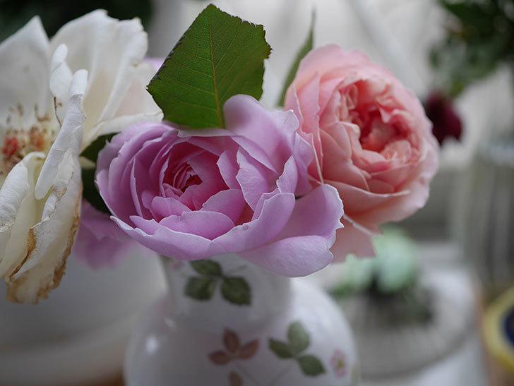 モーティマー・サックラー(ツルバラ)の秋花が咲いた。2020年-012.jpg