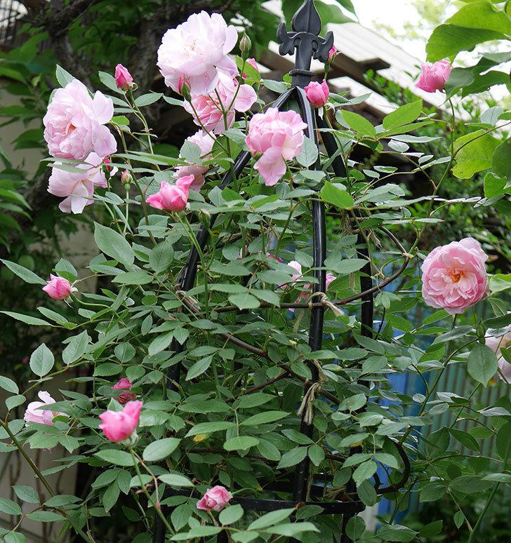 モーティマー・サックラー(ツルバラ)の花がたくさん咲いた。2018年-1.jpg