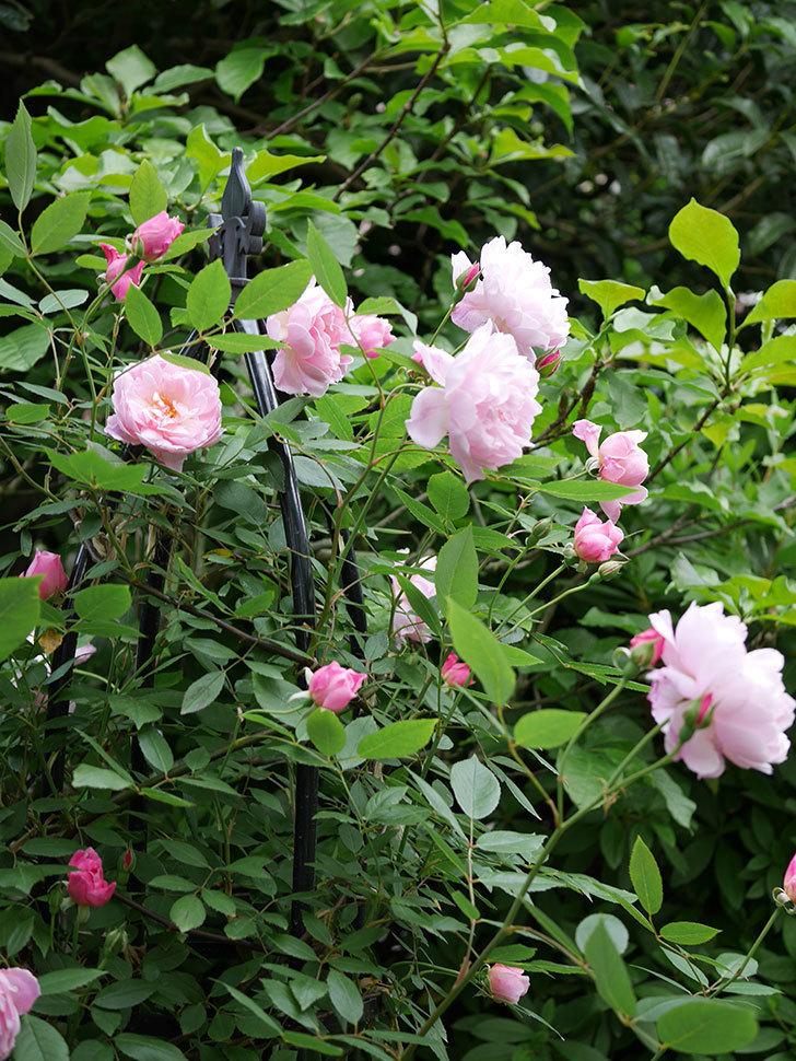 モーティマー・サックラー(ツルバラ)の花がたくさん咲いた。2018年-10.jpg