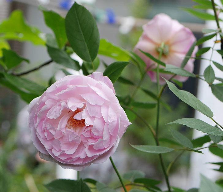 モーティマー・サックラー(ツルバラ)の花がたくさん咲いた。2018年-11.jpg
