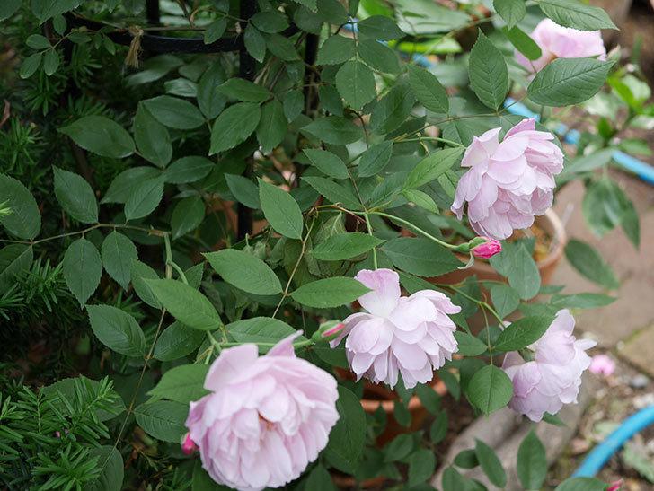モーティマー・サックラー(ツルバラ)の花がたくさん咲いた。2018年-13.jpg