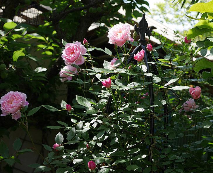 モーティマー・サックラー(ツルバラ)の花がたくさん咲いた。2018年-16.jpg