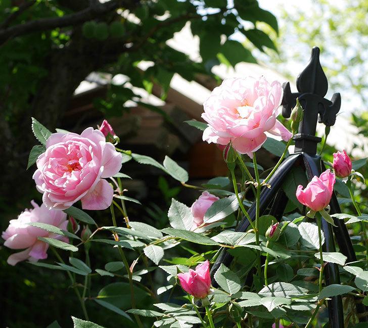 モーティマー・サックラー(ツルバラ)の花がたくさん咲いた。2018年-18.jpg
