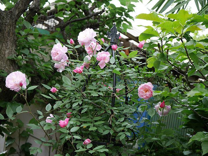 モーティマー・サックラー(ツルバラ)の花がたくさん咲いた。2018年-2.jpg