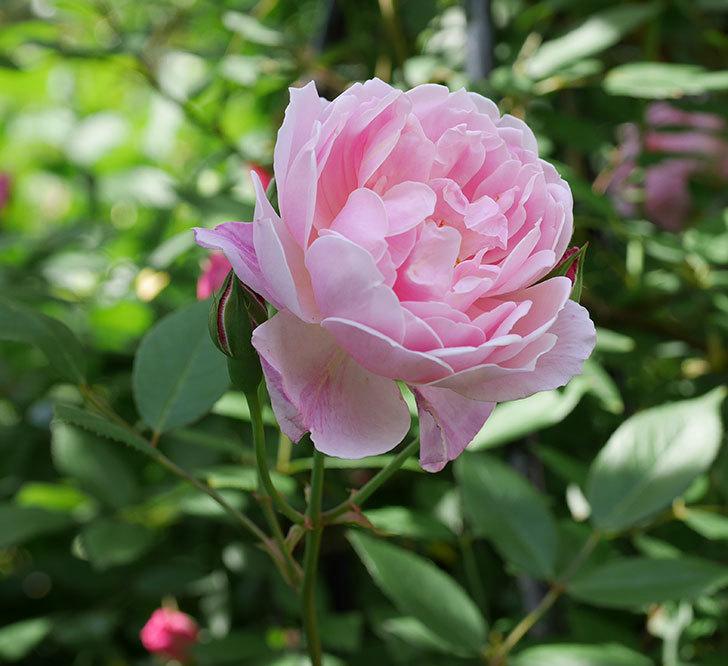 モーティマー・サックラー(ツルバラ)の花がたくさん咲いた。2018年-22.jpg