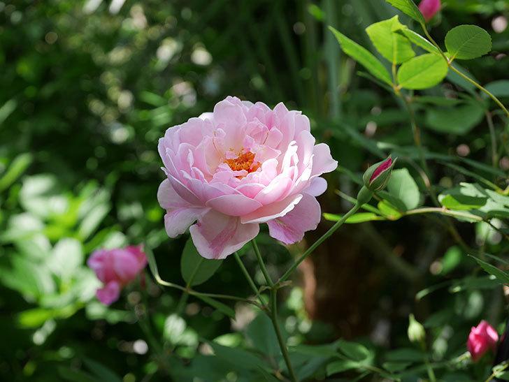 モーティマー・サックラー(ツルバラ)の花がたくさん咲いた。2018年-24.jpg