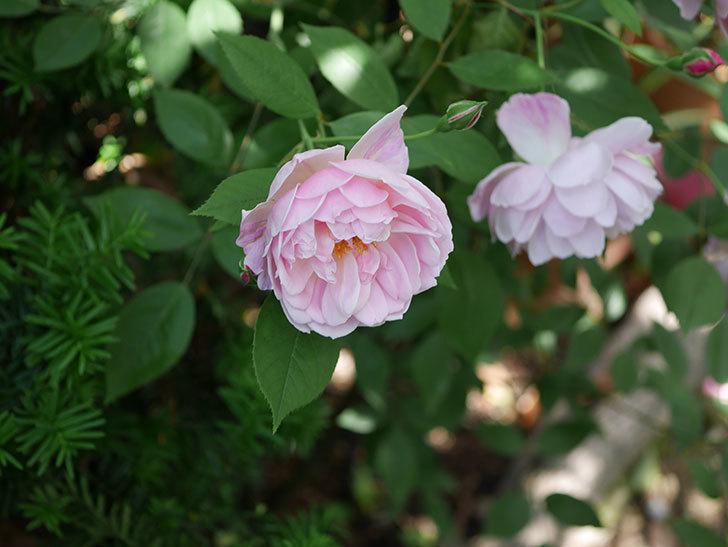モーティマー・サックラー(ツルバラ)の花がたくさん咲いた。2018年-28.jpg