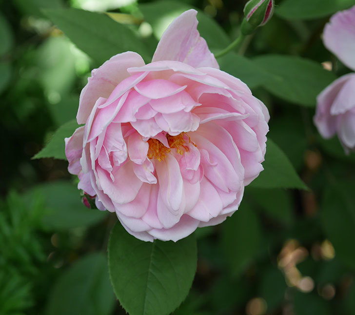 モーティマー・サックラー(ツルバラ)の花がたくさん咲いた。2018年-29.jpg
