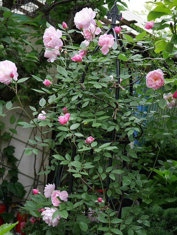 モーティマー・サックラー(ツルバラ)の花がたくさん咲いた。2018年-3.jpg