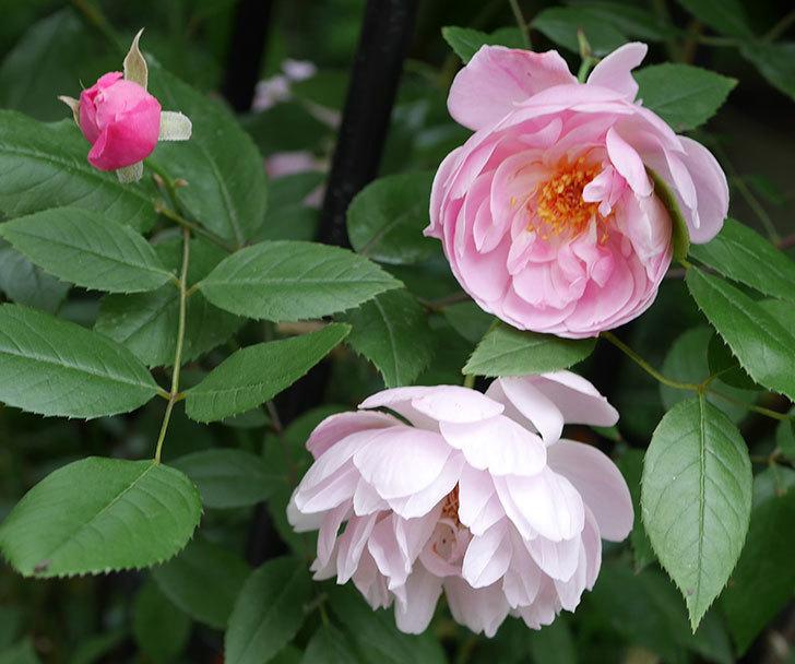 モーティマー・サックラー(ツルバラ)の花がたくさん咲いた。2018年-4.jpg