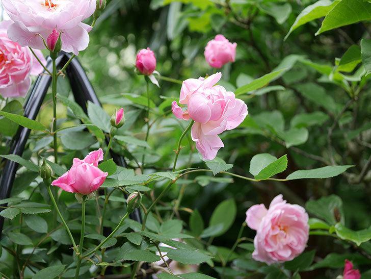 モーティマー・サックラー(ツルバラ)の花がたくさん咲いた。2018年-7.jpg