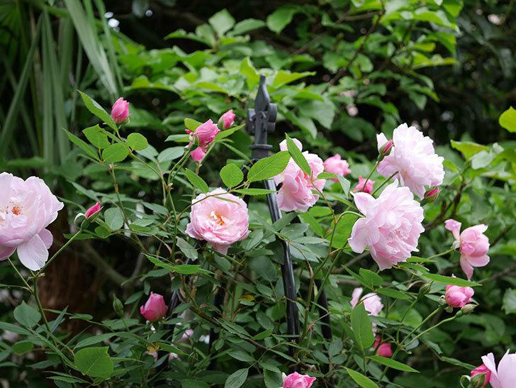 モーティマー・サックラー(ツルバラ)の花がたくさん咲いた。2018年-8.jpg