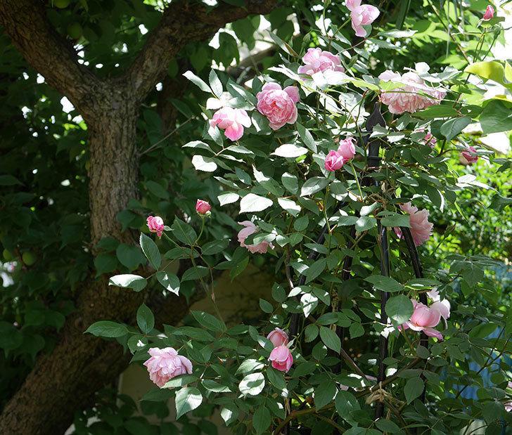 モーティマー・サックラー(ツルバラ)の花がたくさん咲いた。2019年-1.jpg