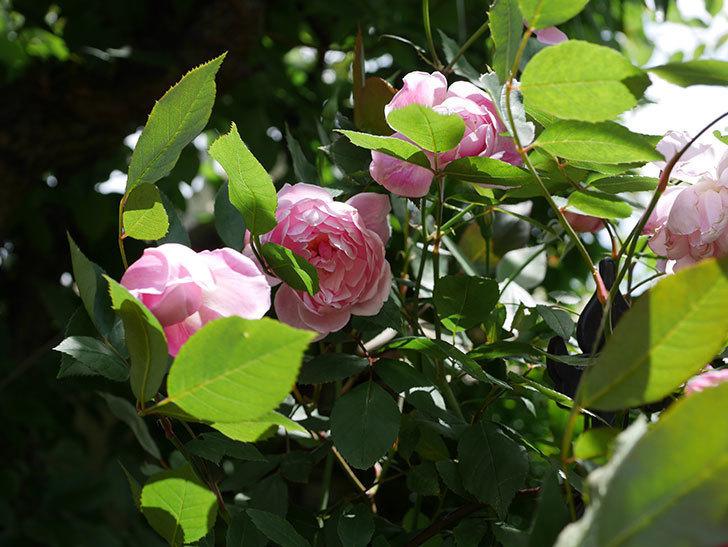 モーティマー・サックラー(ツルバラ)の花がたくさん咲いた。2019年-10.jpg