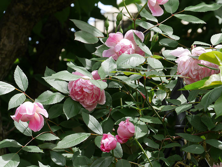 モーティマー・サックラー(ツルバラ)の花がたくさん咲いた。2019年-12.jpg
