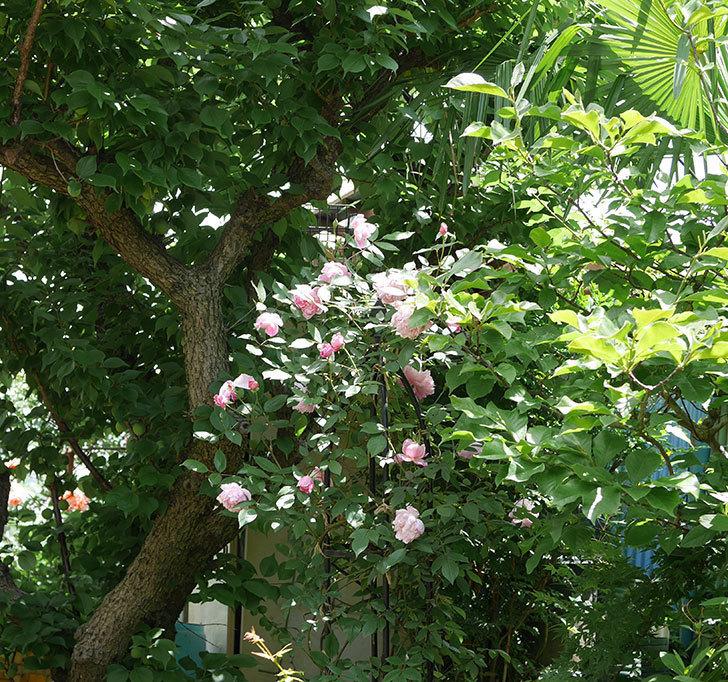 モーティマー・サックラー(ツルバラ)の花がたくさん咲いた。2019年-2.jpg