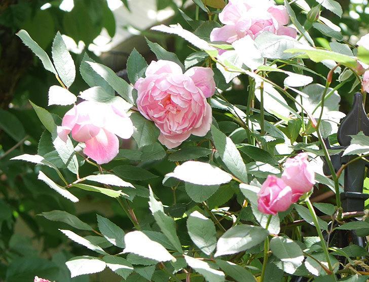 モーティマー・サックラー(ツルバラ)の花がたくさん咲いた。2019年-4.jpg