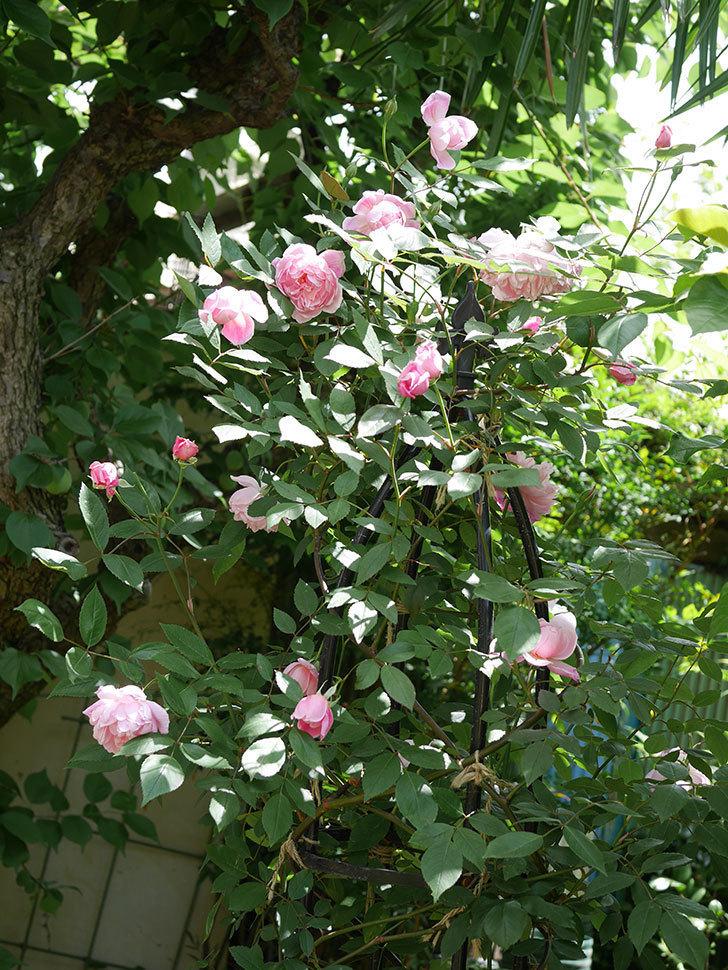 モーティマー・サックラー(ツルバラ)の花がたくさん咲いた。2019年-5.jpg