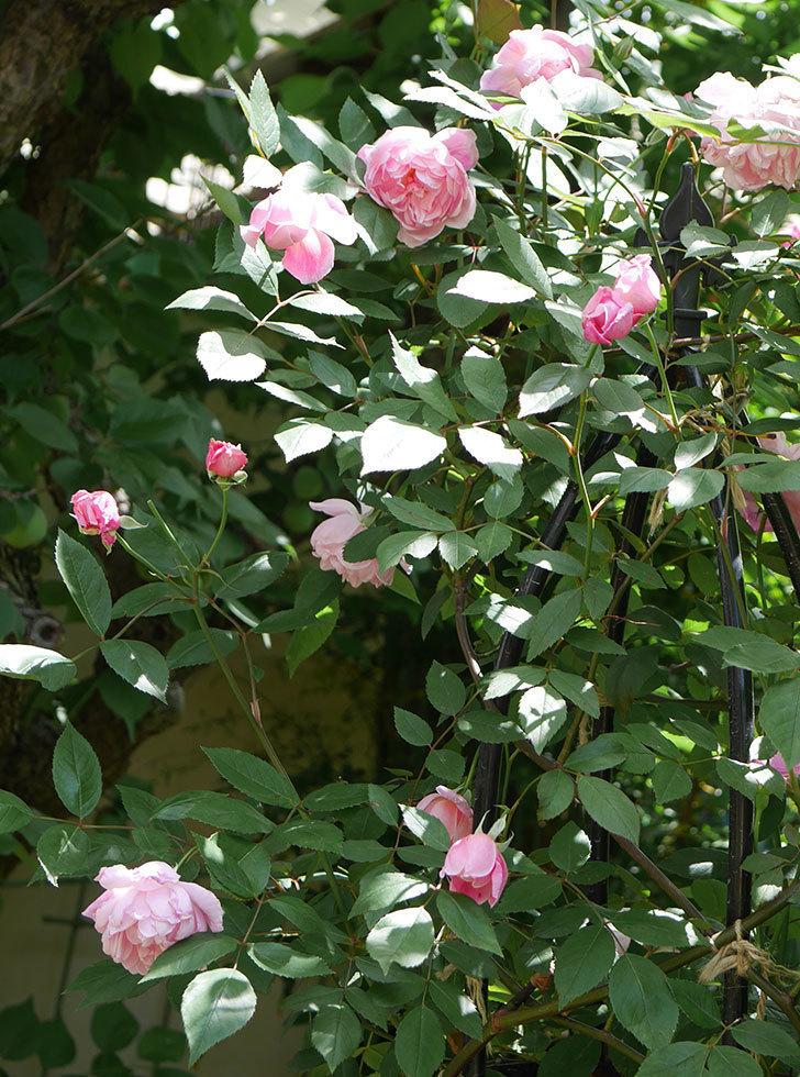 モーティマー・サックラー(ツルバラ)の花がたくさん咲いた。2019年-6.jpg