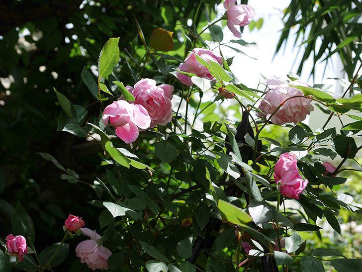 モーティマー・サックラー(ツルバラ)の花がたくさん咲いた。2019年-7.jpg