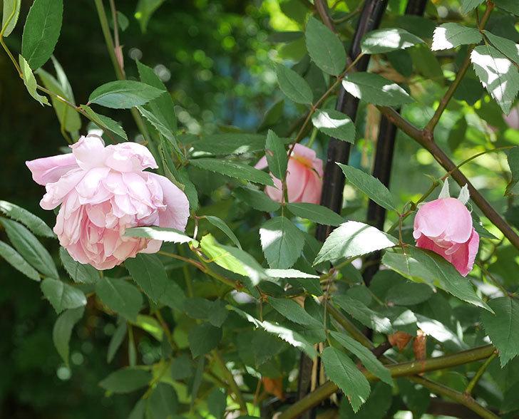 モーティマー・サックラー(ツルバラ)の花がたくさん咲いた。2019年-9.jpg