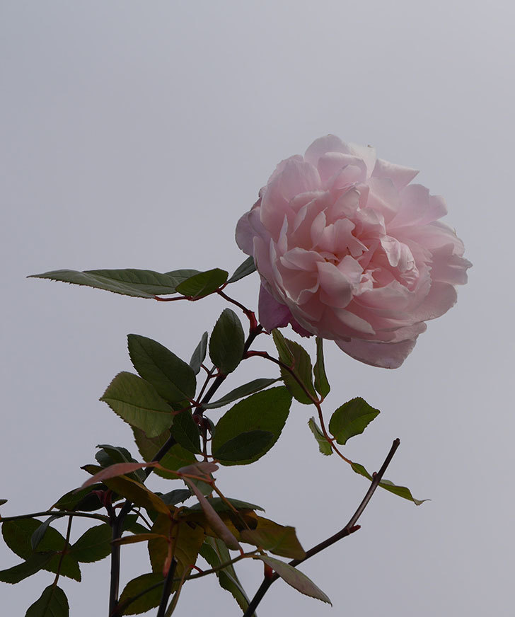モーティマー・サックラー(ツルバラ)の花がまだ咲いている。2020年-1.jpg