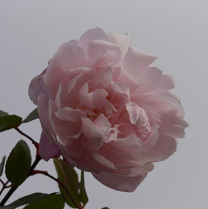 モーティマー・サックラー(ツルバラ)の花がまだ咲いている。2020年-2.jpg