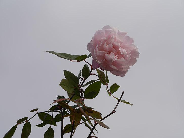 モーティマー・サックラー(ツルバラ)の花がまだ咲いている。2020年-3.jpg