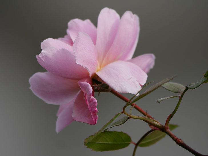 モーティマー・サックラー(ツルバラ)の花がまだ咲いている。2020年-4.jpg