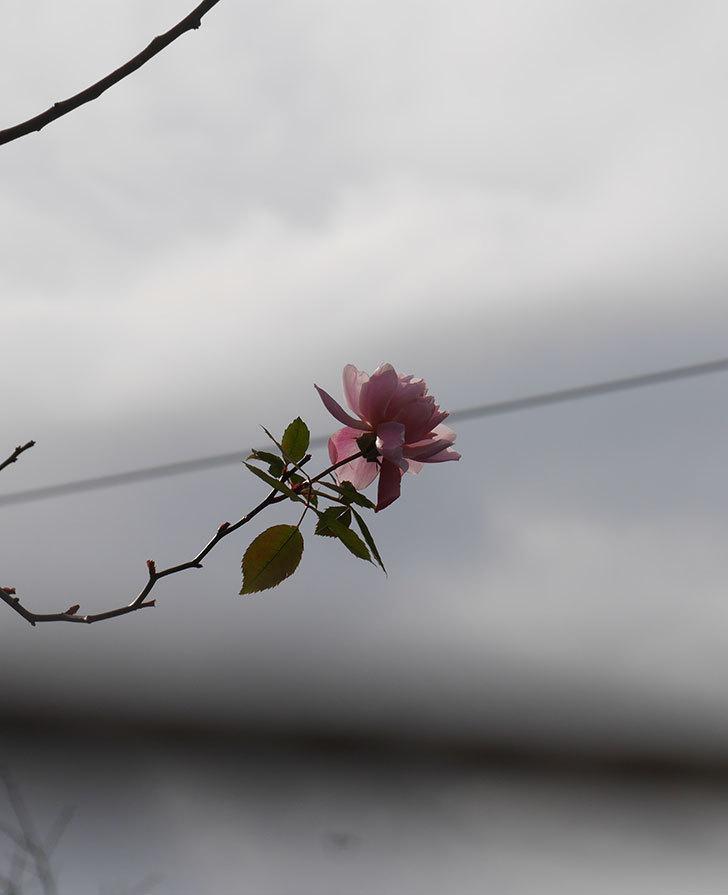 モーティマー・サックラー(ツルバラ)の花がまだ咲いている。2020年-5.jpg
