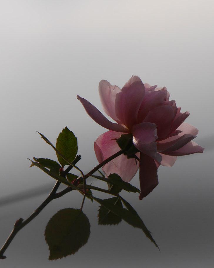 モーティマー・サックラー(ツルバラ)の花がまだ咲いている。2020年-6.jpg