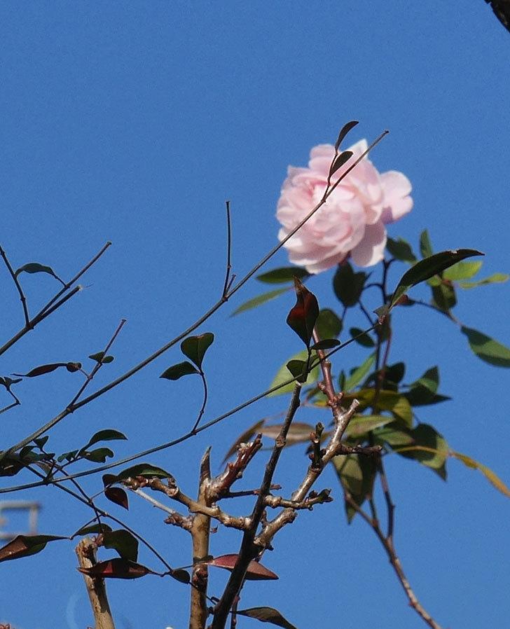 モーティマー・サックラー(ツルバラ)の花がまだ咲いている。2020年-7.jpg