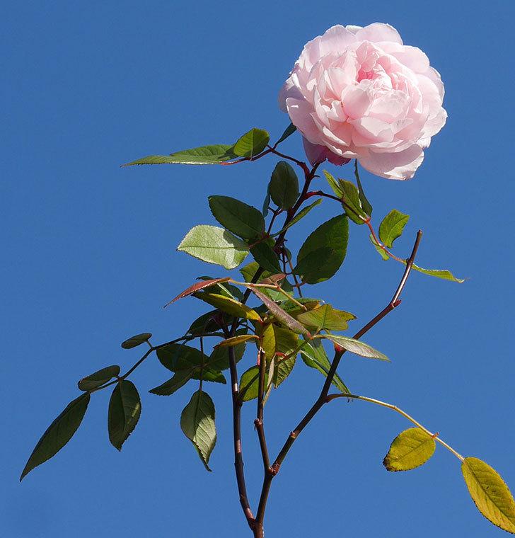 モーティマー・サックラー(ツルバラ)の花がまだ咲いている。2020年-8.jpg