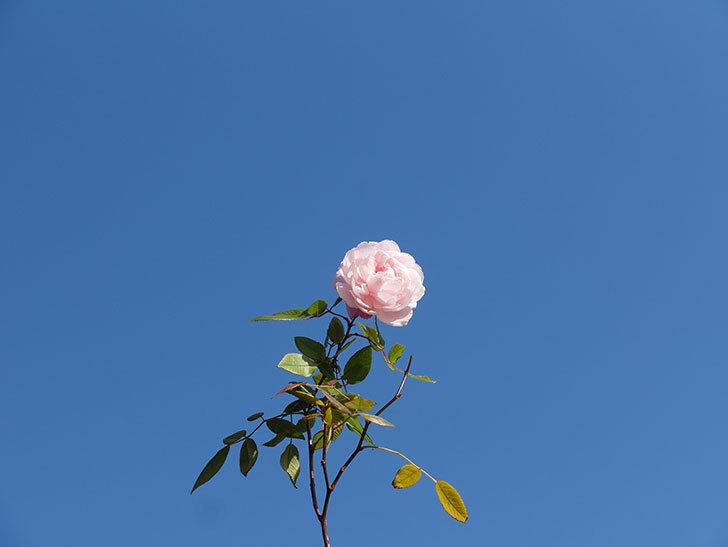 モーティマー・サックラー(ツルバラ)の花がまだ咲いている。2020年-9.jpg