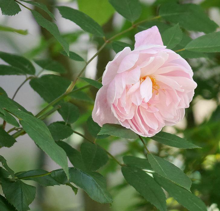 モーティマー・サックラー(ツルバラ)の花が咲いた。2019年-1.jpg
