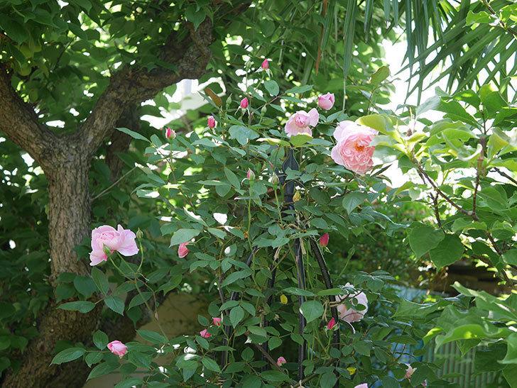 モーティマー・サックラー(ツルバラ)の花が咲いた。2019年-10.jpg