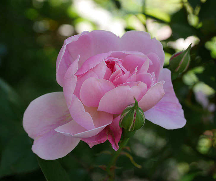 モーティマー・サックラー(ツルバラ)の花が咲いた。2019年-12.jpg
