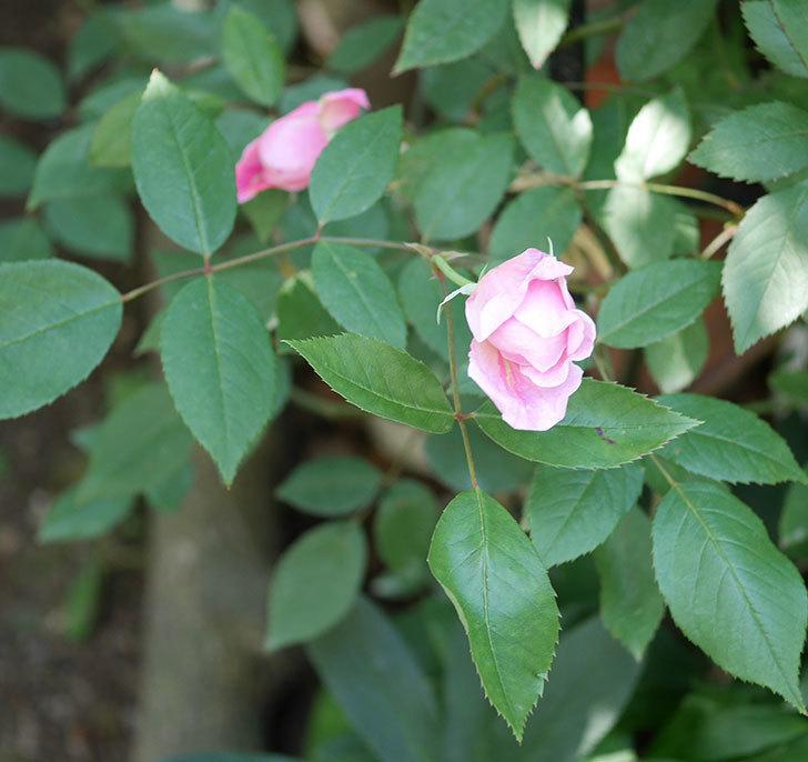 モーティマー・サックラー(ツルバラ)の花が咲いた。2019年-14.jpg
